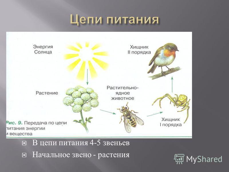 В цепи питания 4-5 звеньев Начальное звено - растения