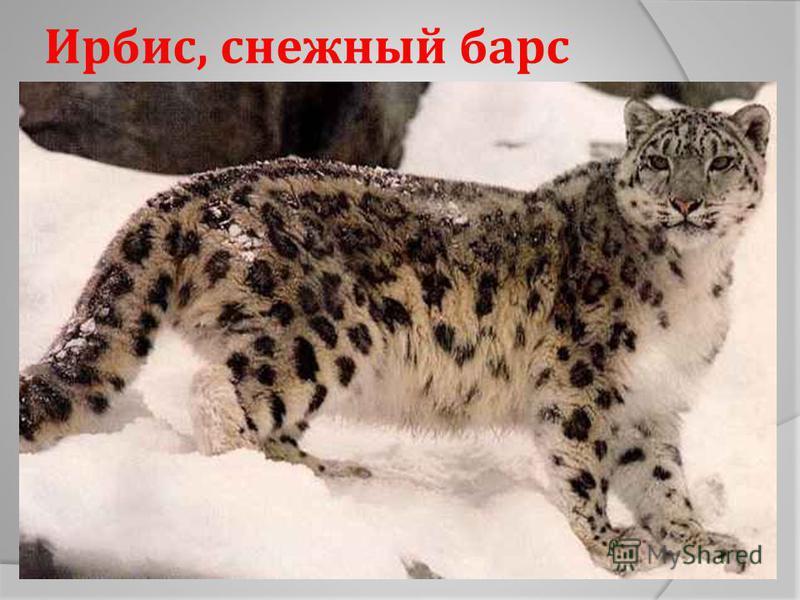 Ирбис, снежный барс
