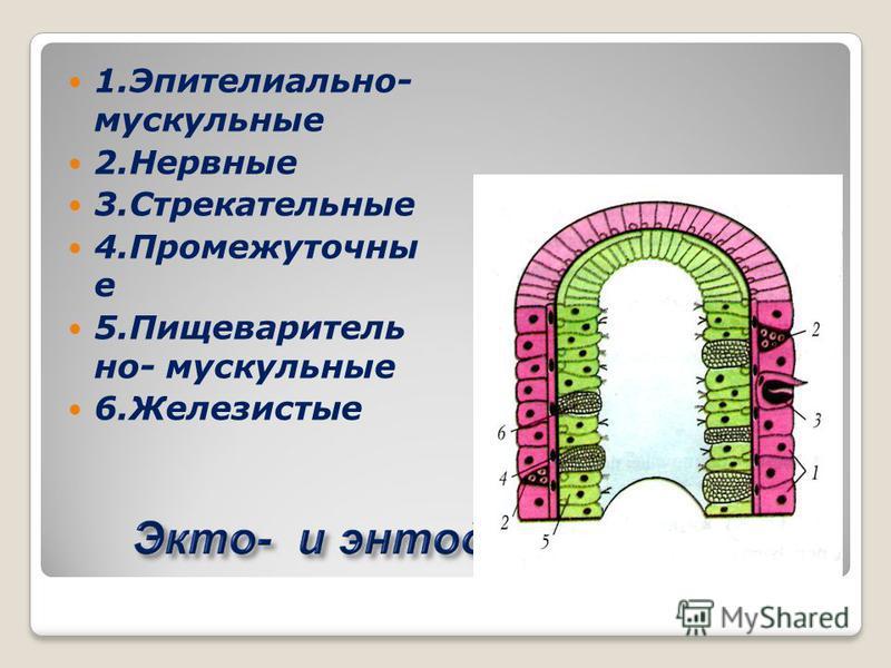 1.Эпителиально- мускульные 2. Нервные 3. Стрекательные 4. Промежуточны е 5. Пищеваритель но- мускульные 6.Железистые