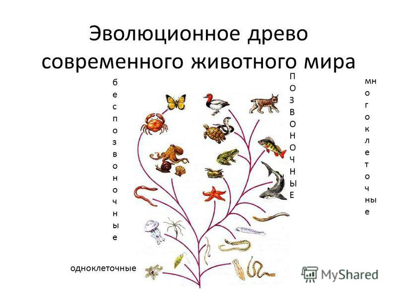 Эволюционное древо современного животного мира одноклеточные многоклеточные беспозвоночные ПОЗВОНОЧНЫЕПОЗВОНОЧНЫЕ