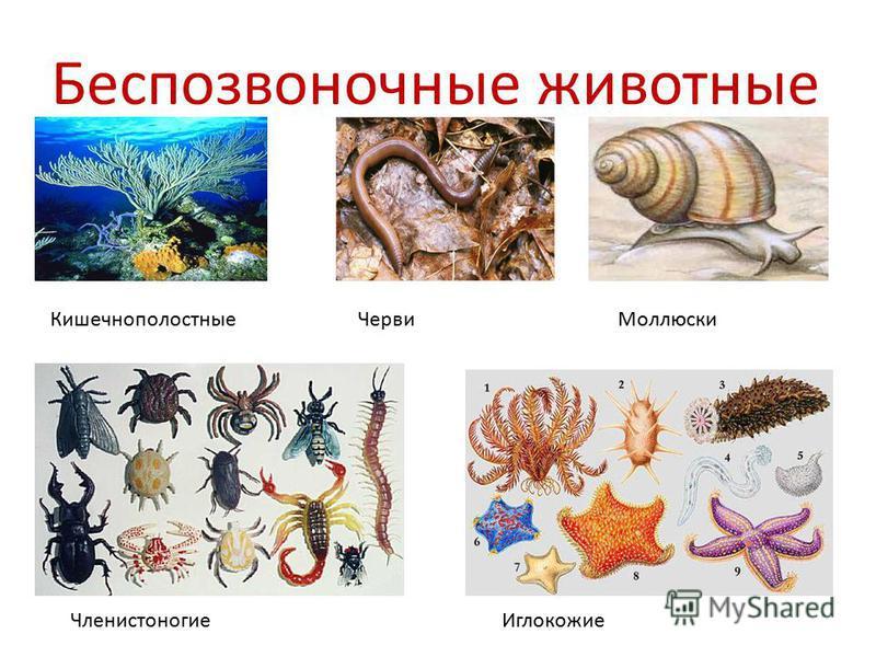 Беспозвоночные животные Кишечнополостные ЧервиМоллюски Членистоногие Иглокожие