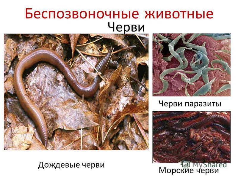Беспозвоночные животные Черви Дождевые черви Черви паразиты Морские черви