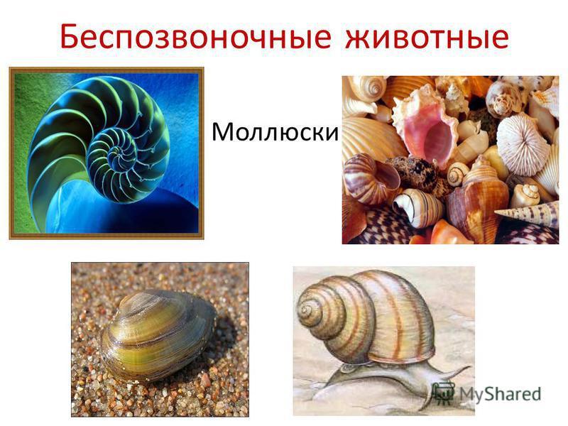 Беспозвоночные животные Моллюски