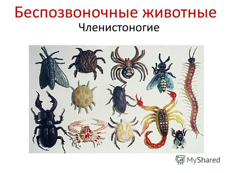 Беспозвоночные животные Членистоногие