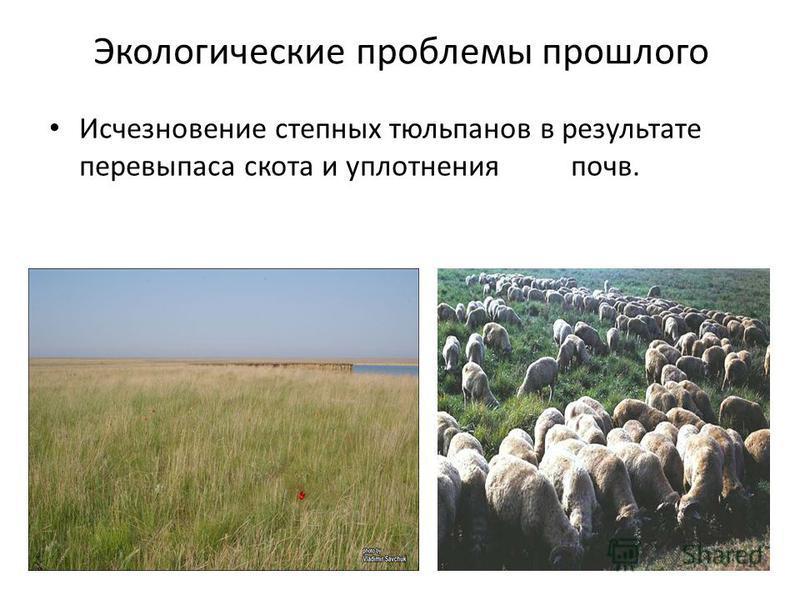 Экологические проблемы прошлого Исчезновение степных тюльпанов в результате перевыпаса скота и уплотнения почв.