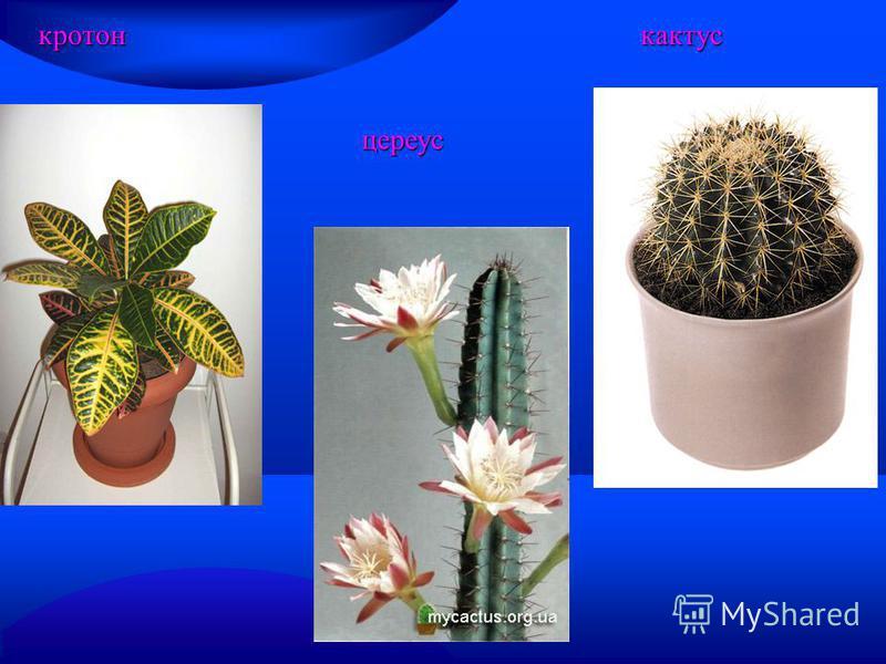 цереус цереус кротон кактус кактус