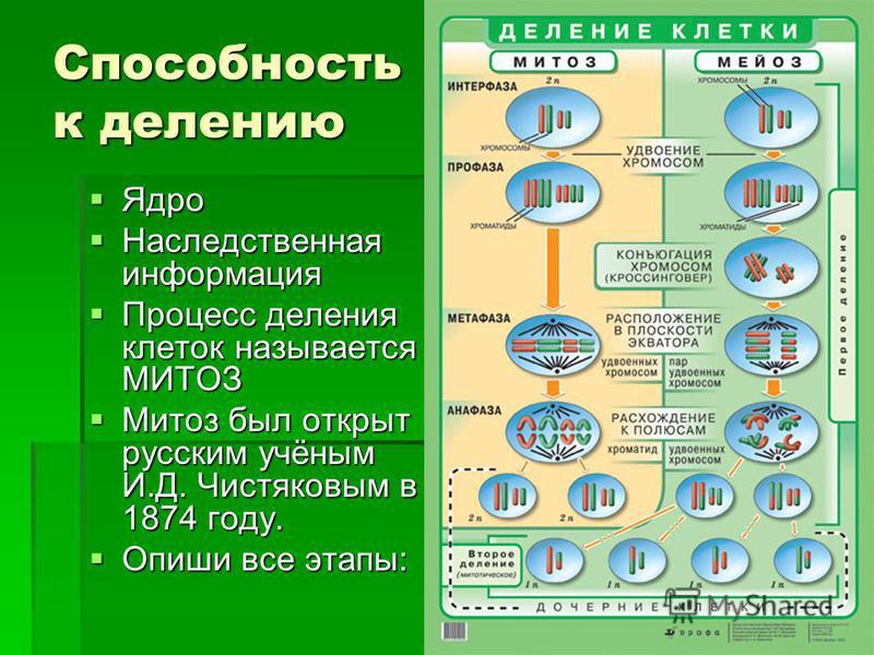 Способность к делению Ядро Ядро Наследственная информация Наследственная информация Процесс деления клеток называется МИТОЗ Процесс деления клеток называется МИТОЗ Митоз был открыт русским учёным И.Д. Чистяковым в 1874 году. Митоз был открыт русским