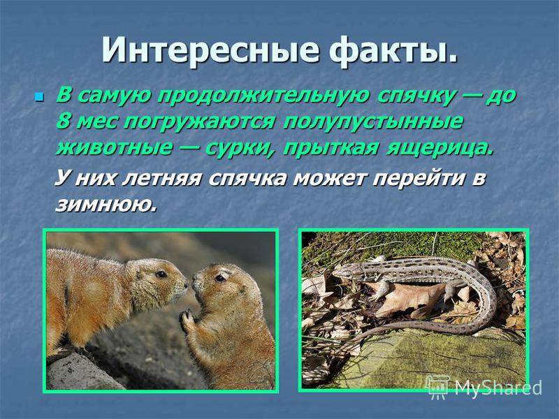 Интересные факты. В самую продолжительную спячку до 8 мес погружаются полупустынные животные сурки, прыткая ящерица. В самую продолжительную спячку до 8 мес погружаются полупустынные животные сурки, прыткая ящерица. У них летняя спячка может перейти