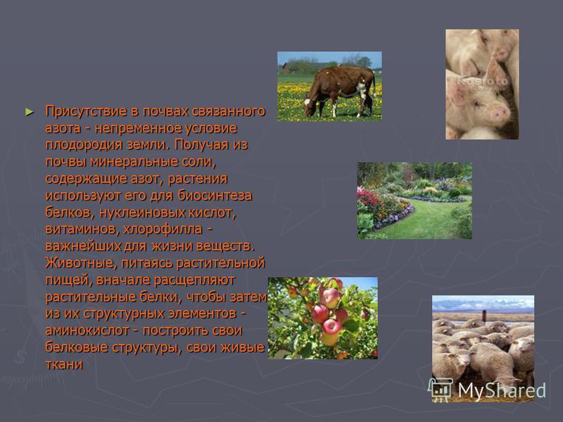 Присутствие в почвах связанного азота - непременное условие плодородия земли. Получая из почвы минеральные соли, содержащие азот, растения используют его для биосинтеза белков, нуклеиновых кислот, витаминов, хлорофилла - важнейших для жизни веществ.