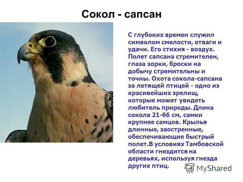 Сокол - сапсан С глубоких времен служил символом смелости, отваги и удачи. Его стихия - воздух. Полет сапсана стремителен, глаза зорки, броски на добычу стремительны и точны. Охота сокола-сапсана за летящей птицей - одно из красивейших зрелищ, которы
