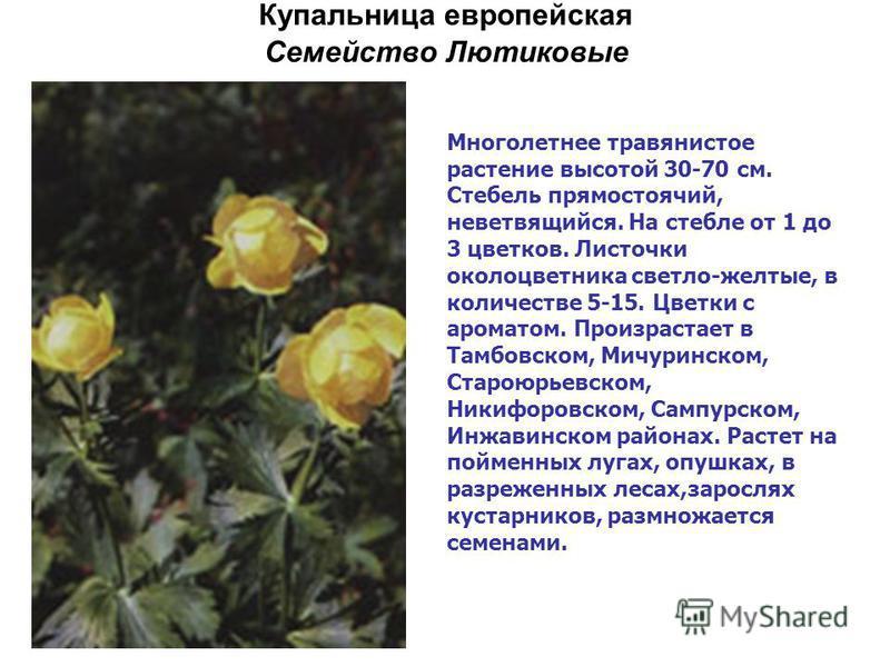 Купальница европейская Семейство Лютиковые Многолетнее травянистое растение высотой 30-70 см. Стебель прямостоячий, неветвящийся. На стебле от 1 до 3 цветков. Листочки околоцветника светло-желтые, в количестве 5-15. Цветки с ароматом. Произрастает в