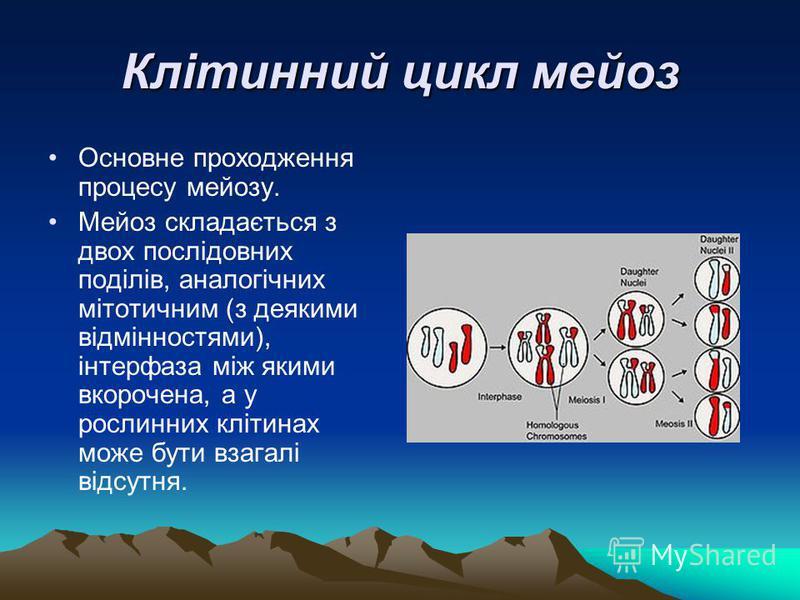 Клітинний цикл мейоз Основне проходження процесу мейозу. Мейоз складається з двох послідовних поділів, аналогічних мітотичним (з деякими відмінностями), інтерфаза між якими вкорочена, а у рослинних клітинах може бути взагалі відсутня.