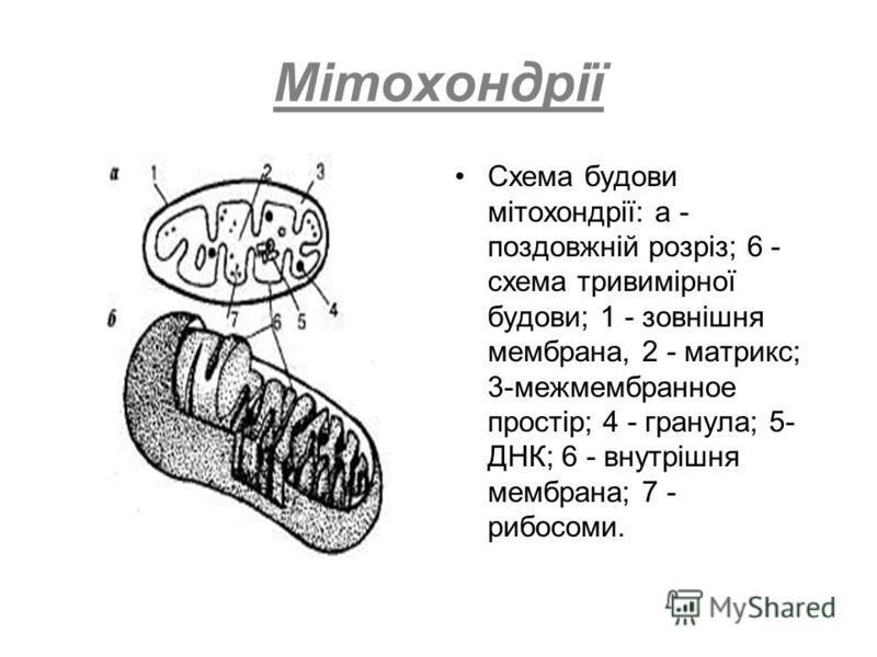 Мітохондрії Схема будови мітохондрії: а - поздовжній розріз; 6 - схема тривимірної будови; 1 - зовнішня мембрана, 2 - матрикс; 3-межмембранное простір; 4 - гранула; 5- ДНК; 6 - внутрішня мембрана; 7 - рибосоми.