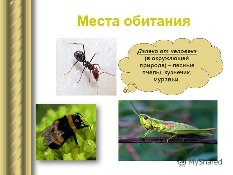Места обитания Далеко от человека (в окружающей природе) – лесные пчелы, кузнечик, муравьи.