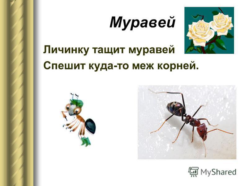 Муравей Личинку тащит муравей Спешит куда-то меж корней.