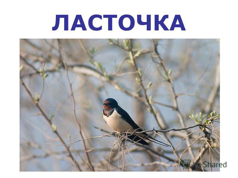 ЛАСТОЧКА