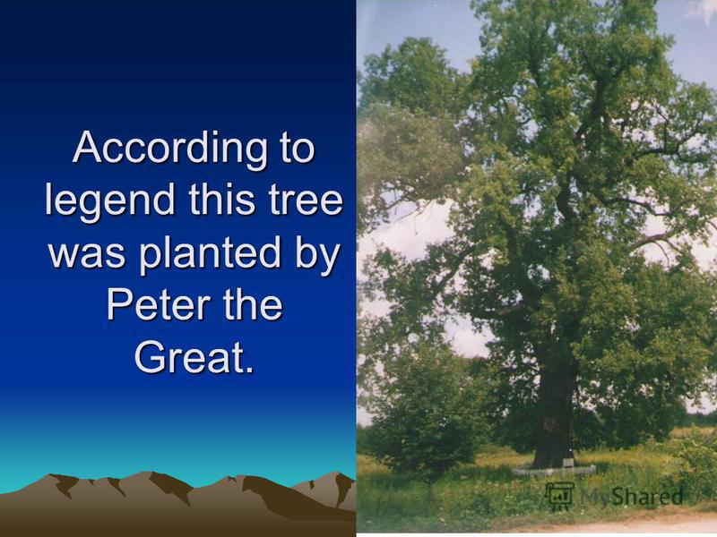 According to legend this tree was planted by Peter the Great.