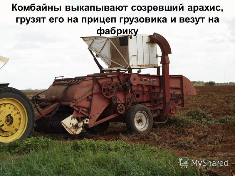 Комбайны выкапывают созревший арахис, грузят его на прицеп грузовика и везут на фабрику