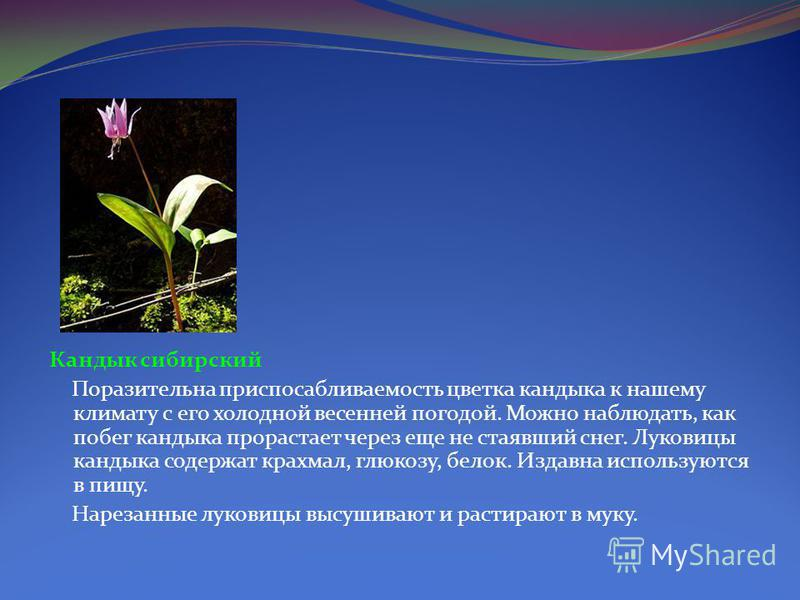 РАСТЕНИЯ 13 Венерин башмачок Растет в светлых лесах и на вырубках по всей Восточной Сибири, но не часто. Растение очень декоративно, поэтому в период цветения его часто собирают в букеты, вырывая вместе с корневищем, что привело к сокращению его ареа
