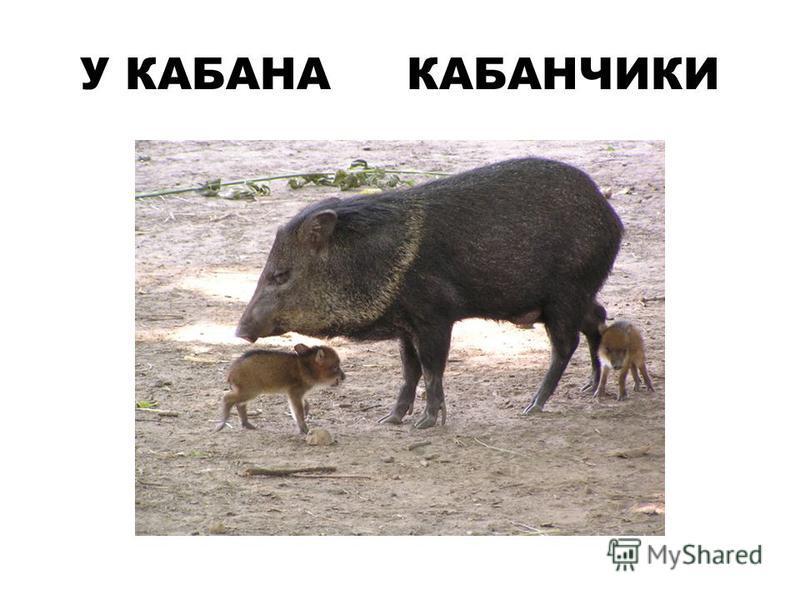 У КАБАНА КАБАНЧИКИ
