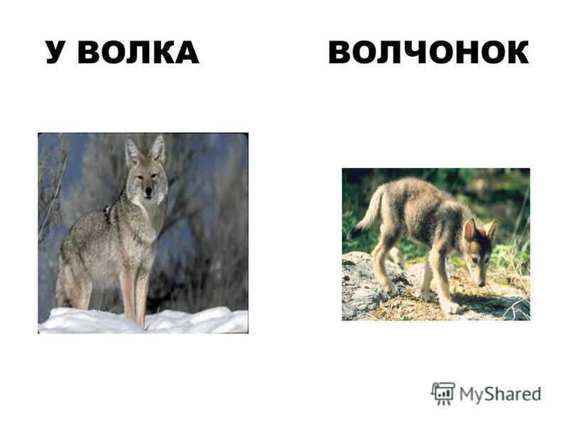 У ВОЛКА ВОЛЧОНОК