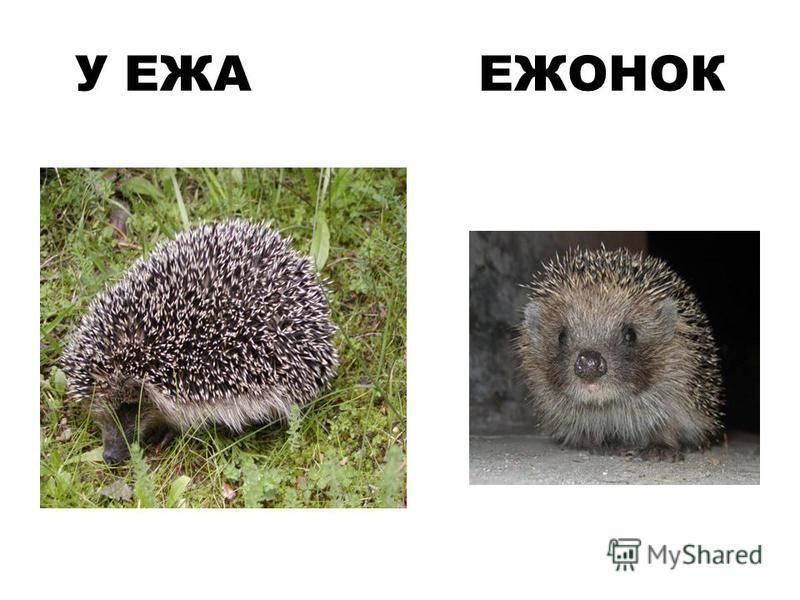 У ЕЖА ЕЖОНОК