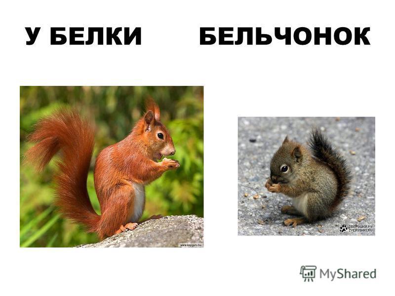 У БЕЛКИ БЕЛЬЧОНОК