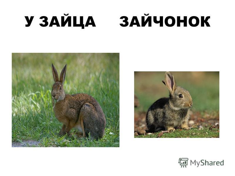 У ЗАЙЦА ЗАЙЧОНОК