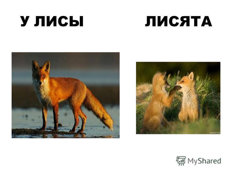 У ЛИСЫ ЛИСЯТА