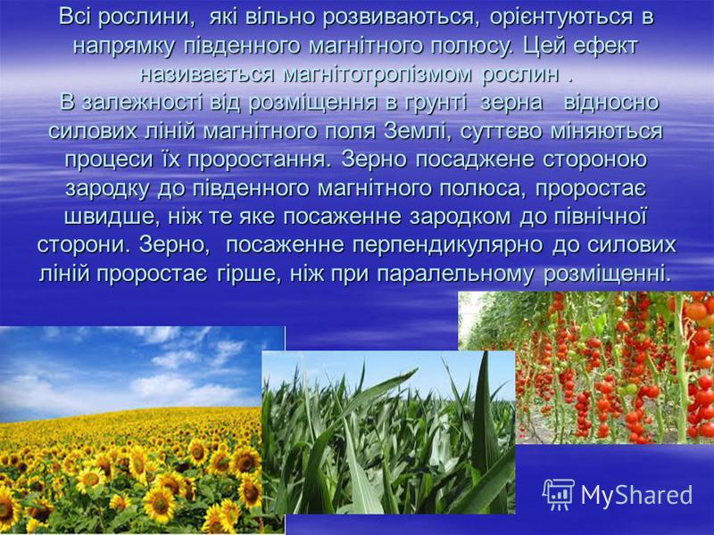 Всі рослини, які вільно розвиваються, орієнтуються в напрямку південного магнітного полюсу. Цей ефект називається магнітотропізмом рослин. В залежності від розміщення в грунті зерна відносно силових ліній магнітного поля Землі, суттєво міняються проц