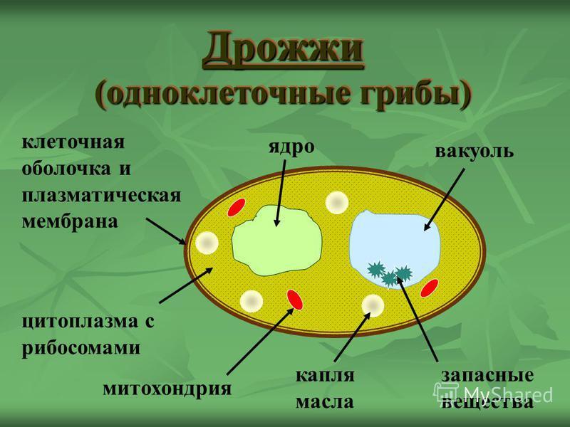 ядро капля масла цитоплазма с рибосомами вакуоль клеточная оболочка и плазматическая мембрана запасные вещества митохондрия