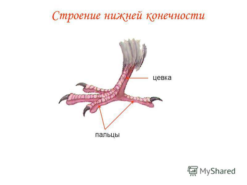 Строение нижней конечности пальцы цевка