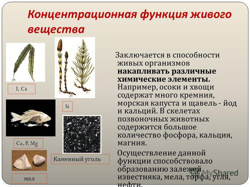 Концентрационная функция живого вещества Заключается в способности живых организмов накапливать различные химические элементы. Например, осоки и хвощи содержат много кремния, морская капуста и щавель - йод и кальций. В скелетах позвоночных животных с