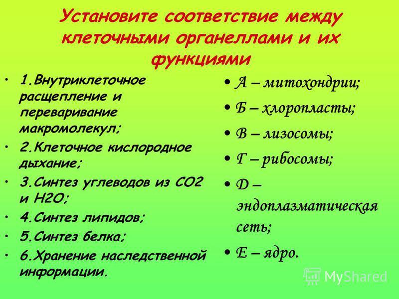 Установите соответствие между клеточными органеллами и их функциями 1. Внутриклеточное расщепление и переваривание макромолекул; 2. Клеточное кислородное дыхание; 3. Синтез углеводов из СО2 и Н2О; 4. Синтез липидов; 5. Синтез белка; 6. Хранение насле