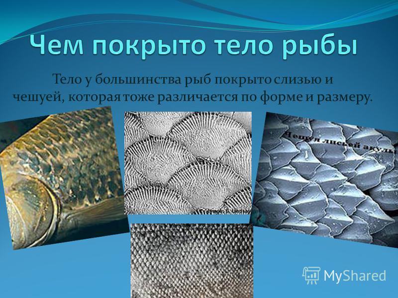 Тело у большинства рыб покрыто слизью и чешуей, которая тоже различается по форме и размеру.
