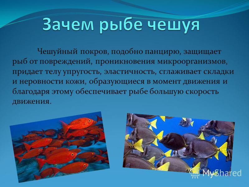 Чешуйный покров, подобно панцирю, защищает рыб от повреждений, проникновения микроорганизмов, придает телу упругость, эластичность, сглаживает складки и неровности кожи, образующиеся в момент движения и благодаря этому обеспечивает рыбе большую скоро