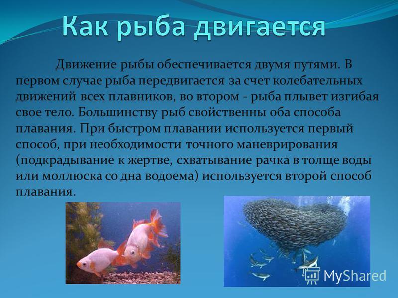 Движение рыбы обеспечивается двумя путями. В первом случае рыба передвигается за счет колебательных движений всех плавников, во втором - рыба плывет изгибая свое тело. Большинству рыб свойственны оба способа плавания. При быстром плавании используетс