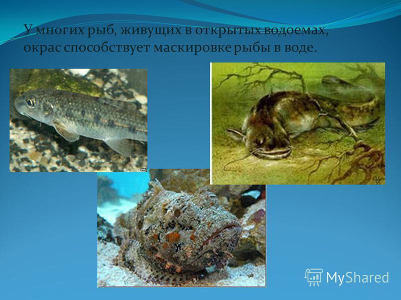 У многих рыб, живущих в открытых водоемах, окрас способствует маскировке рыбы в воде.