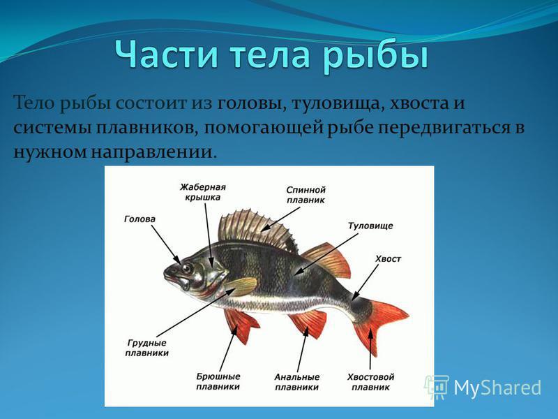 Тело рыбы состоит из головы, туловища, хвоста и системы плавников, помогающей рыбе передвигаться в нужном направлении.