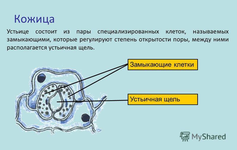 Кожица Устьице состоит из пары специализированных клеток, называемых замыкающими, которые регулируют степень открытости поры, между ними располагается устьичная щель. Замыкающие клетки Устьичная щель
