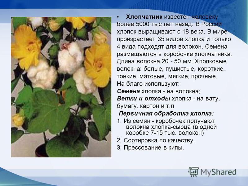 Хлопчатник известен человеку более 5000 тыс лет назад. В России хлопок выращивают с 18 века. В мире произрастает 35 видов хлопка и только 4 вида подходят для волокон. Семена размещаются в коробочке хлопчатника. Длина волокна 20 - 50 мм. Хлопковые вол