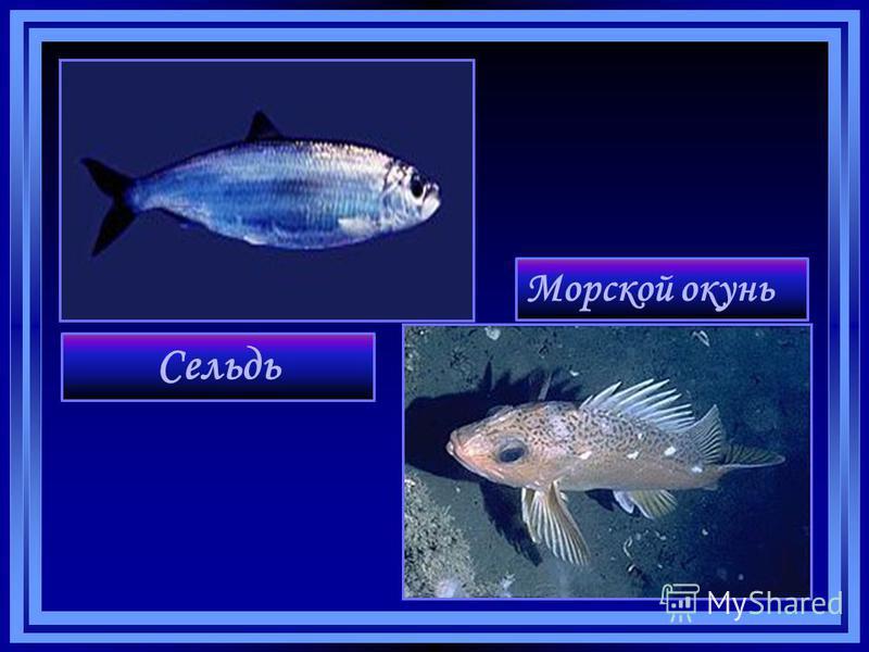 Сельдь Морской окунь