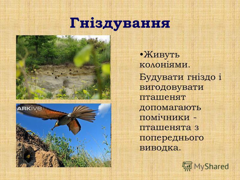 Гніздування Живуть колоніями. Будувати гніздо і вигодовувати пташенят допомагають помічники - пташенята з попереднього виводка.