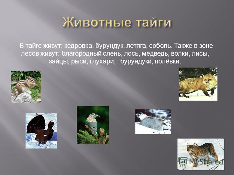 В тайге живут: кедровка, бурундук, летяга, соболь. Также в зоне лесов живут: благородный олень, лось, медведь, волки, лисы, зайцы, рыси, глухари, бурундуки, полёвки.