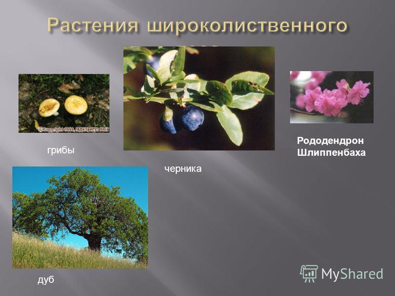 дуб Рододендрон Шлиппенбаха черника грибы
