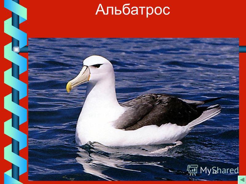 12 Альбатрос