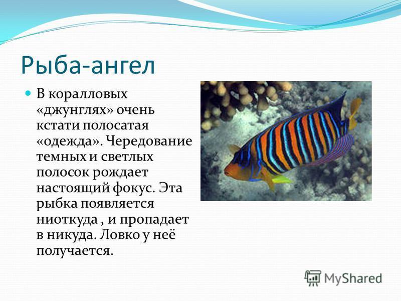 Рыба-ангел В коралловых «джунглях» очень кстати полосатая «одежда». Чередование темных и светлых полосок рождает настоящий фокус. Эта рыбка появляется ниоткуда, и пропадает в никуда. Ловко у неё получается.