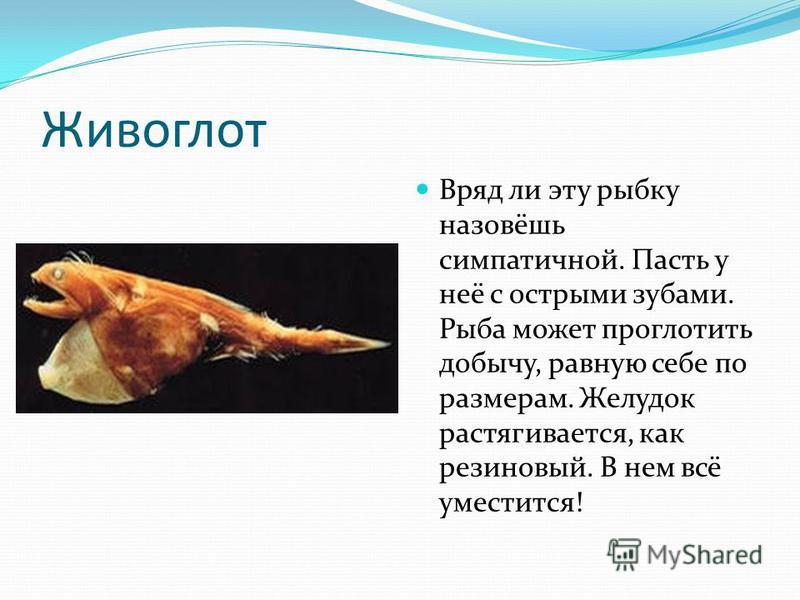 Живоглот Вряд ли эту рыбку назовёшь симпатичной. Пасть у неё с острыми зубами. Рыба может проглотить добычу, равную себе по размерам. Желудок растягивается, как резиновый. В нем всё уместится!