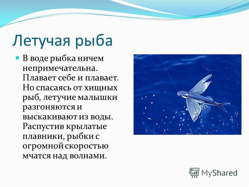 Летучая рыба В воде рыбка ничем непримечательна. Плавает себе и плавает. Но спасаясь от хищных рыб, летучие малышки разгоняются и выскакивают из воды. Распустив крылатые плавники, рыбки с огромной скоростью мчатся над волнами.
