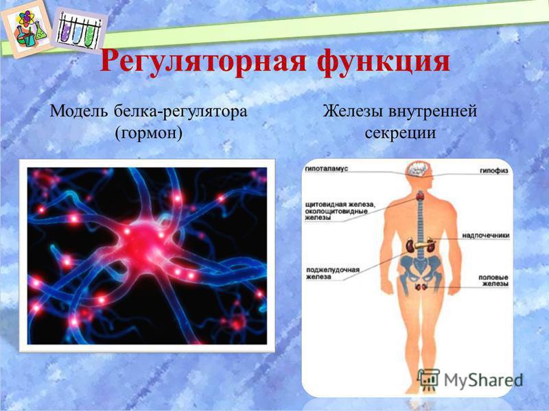 Регуляторная функция Модель белка-регулятора (гормон) Железы внутренней секреции